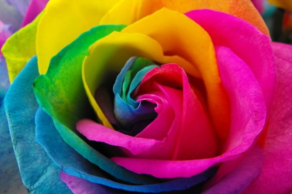 rainbow_roses_by_surrender_the_booty-d4b40mg